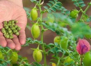 Нахут био продукт от онлайн магазин Бурел