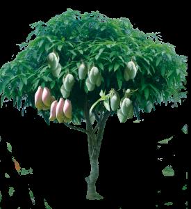 Манго - най-продаваният плод в света