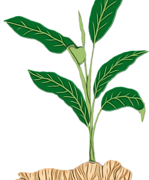 arrow-root арарут от Бурел Органикс